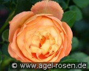 Pat Austin (English Rose)