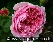 Princess Alexandra of Kent (English Rose)