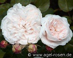 sharifa asma english rose buy at agel rosen. Black Bedroom Furniture Sets. Home Design Ideas
