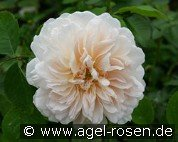 Tea Clipper (English Rose)