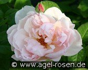 The Generous Gardener (English Rose)