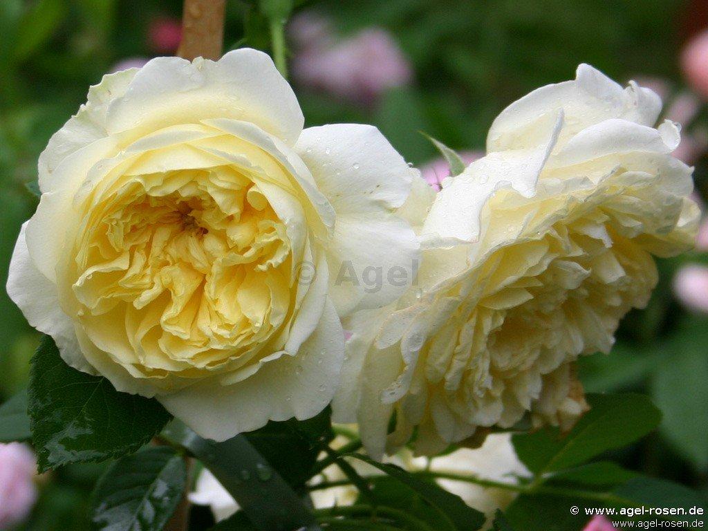 the pilgrim english rose buy at agel rosen. Black Bedroom Furniture Sets. Home Design Ideas