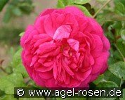 Young Lycidas (English Rose)