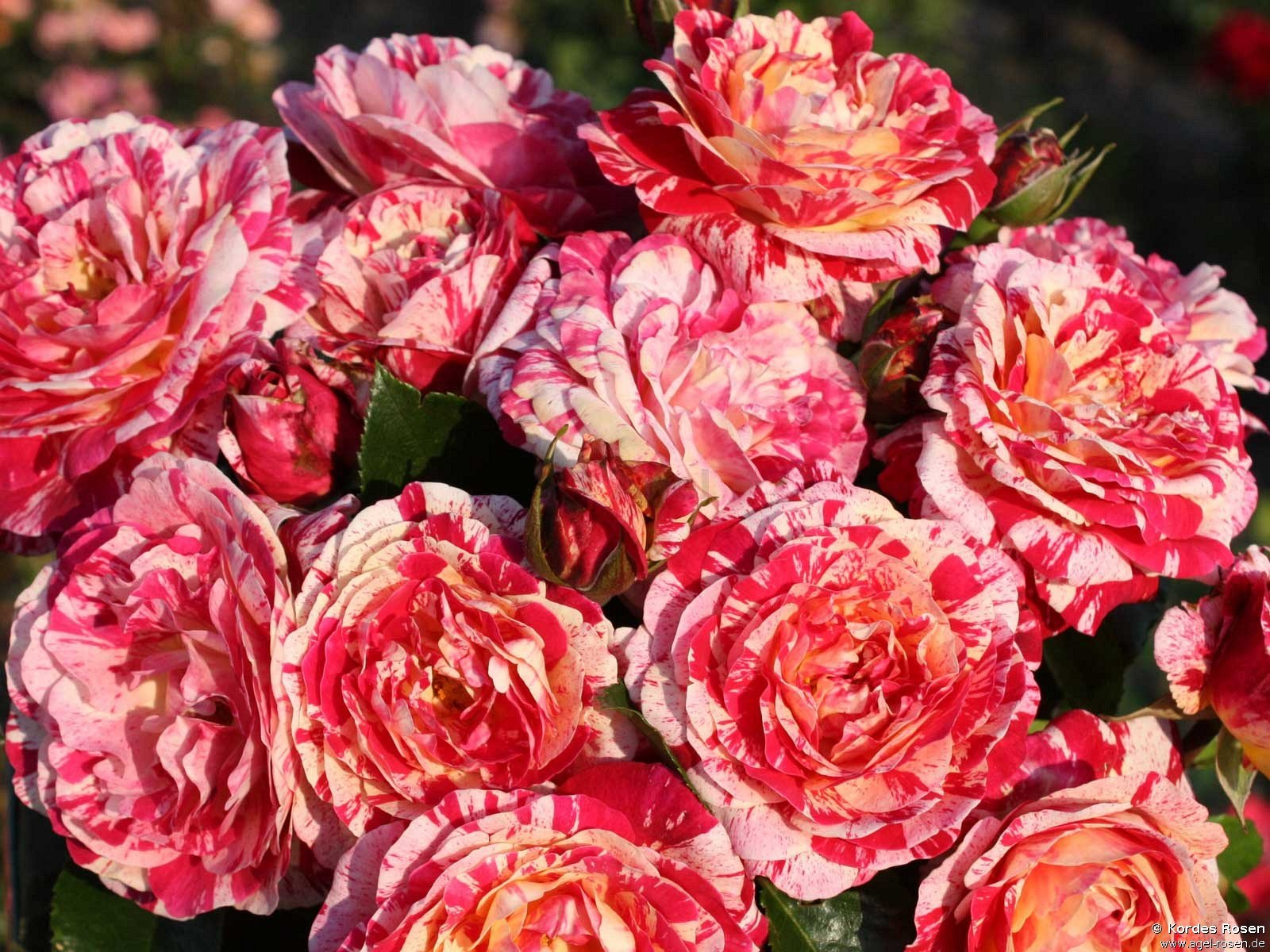 Image Result For Home And Garden Rosea