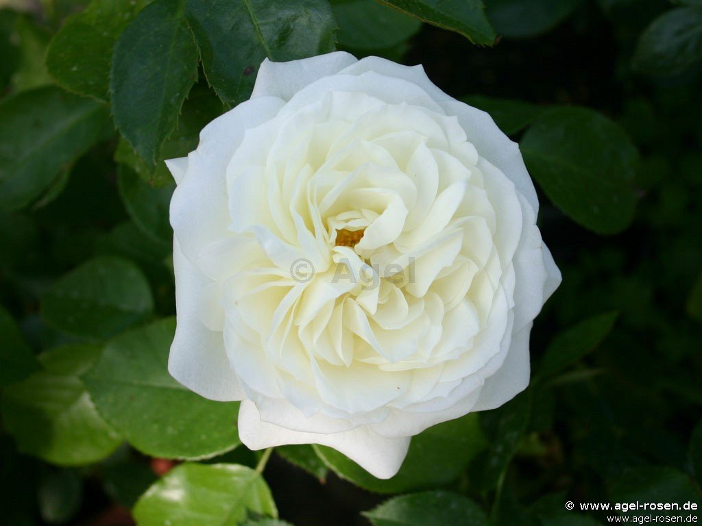 Roses In Garden: Buy At AGEL ROSEN