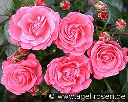 bella rosa floribunda rose buy at agel rosen. Black Bedroom Furniture Sets. Home Design Ideas