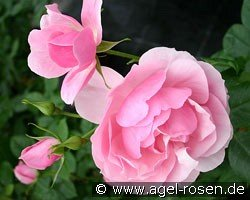 Bernd Weigel Rose (Floribunda Rose)