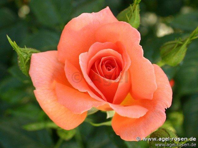 betty harkness floribunda rose buy at agel rosen. Black Bedroom Furniture Sets. Home Design Ideas
