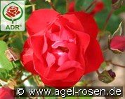 Black Forest Rose (Floribunda Rose)