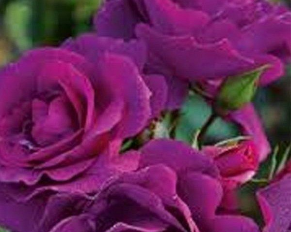 Bluebell (Floribunda Rose)
