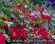 Bordure Vermillon (Floribunda Rose)