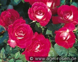 Bordure Vive (Floribunda Rose)