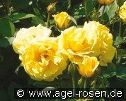 Bordure d'Or (Floribunda Rose)