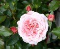 Botticelli (Floribunda Rose)