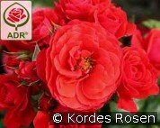 Cherry Girl (Floribunda Rose)