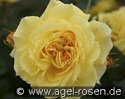 China Girl (Floribunda Rose)