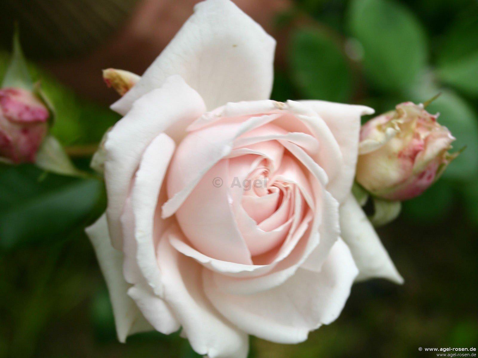 constanze mozart floribunda rose buy at agel rosen. Black Bedroom Furniture Sets. Home Design Ideas