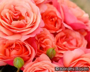 Coral Lions Rose