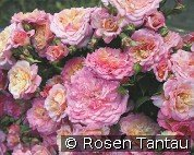 Country Girl (Floribunda Rose)