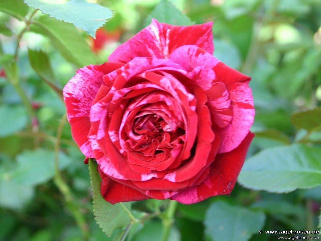 Rosé: Deep Impression ®