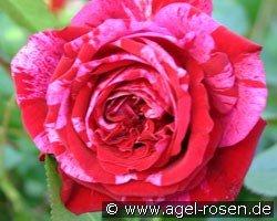 deep impression floribunda rose buy at agel rosen. Black Bedroom Furniture Sets. Home Design Ideas
