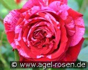 Deep Impression (Floribunda Rose)