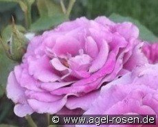 Deutsche Welle (Floribunda Rose)