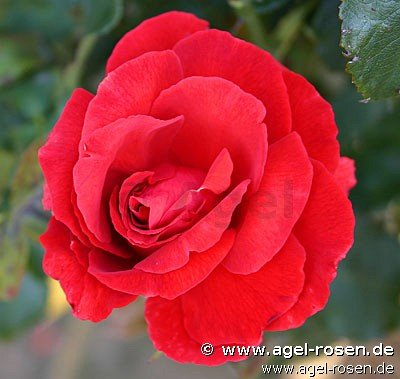 duftwolke floribunda rose buy at agel rosen. Black Bedroom Furniture Sets. Home Design Ideas
