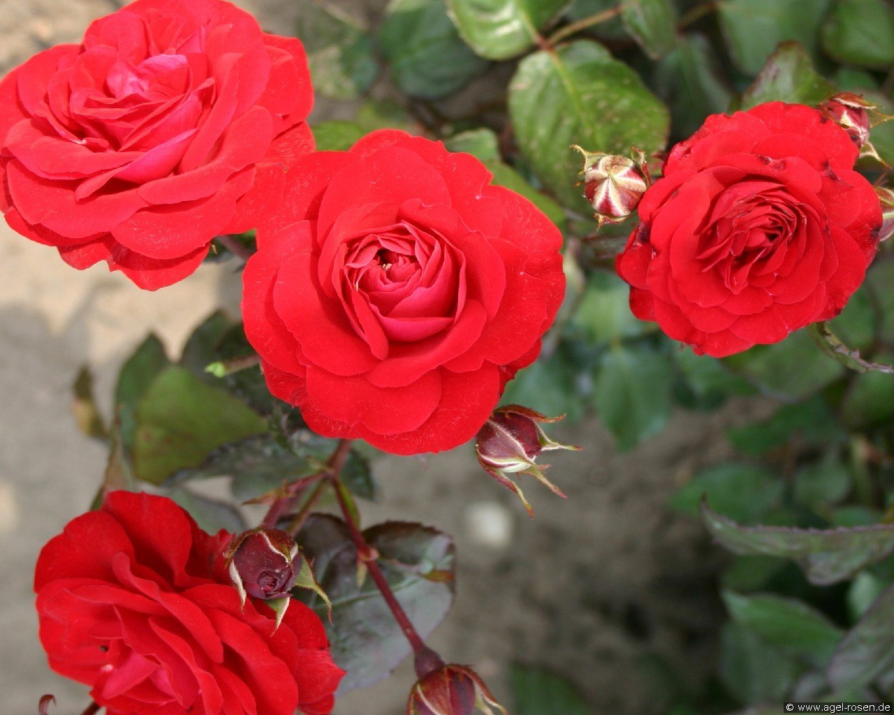 Europeana (Floribunda Rose)