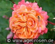 Frenesie (Floribunda Rose)