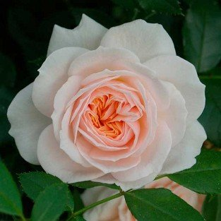 Garden of Roses syn. Cream Flower Circus