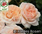 Garden of Roses syn. Cream Flower Circus (Floribunda Rose)