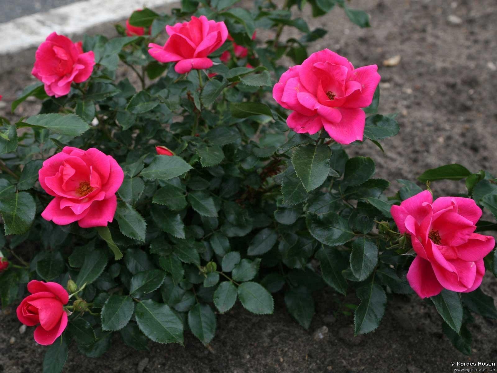 gartenfreund floribunda rose buy at agel rosen. Black Bedroom Furniture Sets. Home Design Ideas