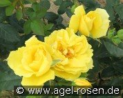 Goldbeet (Floribunda Rose)