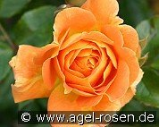 Goldelse (Floribunda Rose)