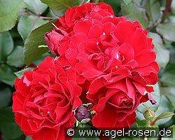 happy wanderer floribunda rose buy at agel rosen. Black Bedroom Furniture Sets. Home Design Ideas