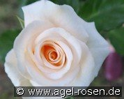 Heidemarie von Rathenow (Floribunda Rose)
