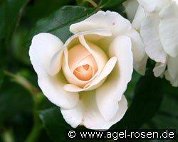 kosmos floribunda rose buy at agel rosen. Black Bedroom Furniture Sets. Home Design Ideas