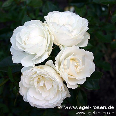 kristall floribunda rose buy at agel rosen. Black Bedroom Furniture Sets. Home Design Ideas