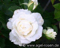 lady romantica floribunda rose buy at agel rosen. Black Bedroom Furniture Sets. Home Design Ideas