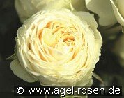 Lemon Rokoko (Floribunda Rose)