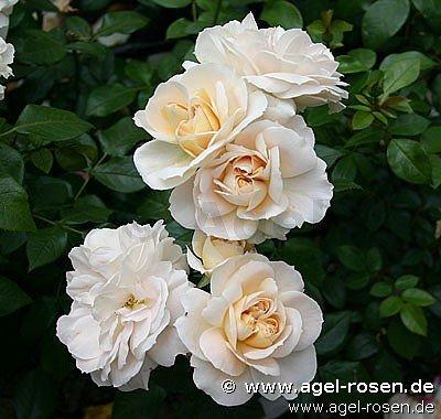 buy rose lions rose online at agel rosen 6 5 liter pot container roses. Black Bedroom Furniture Sets. Home Design Ideas