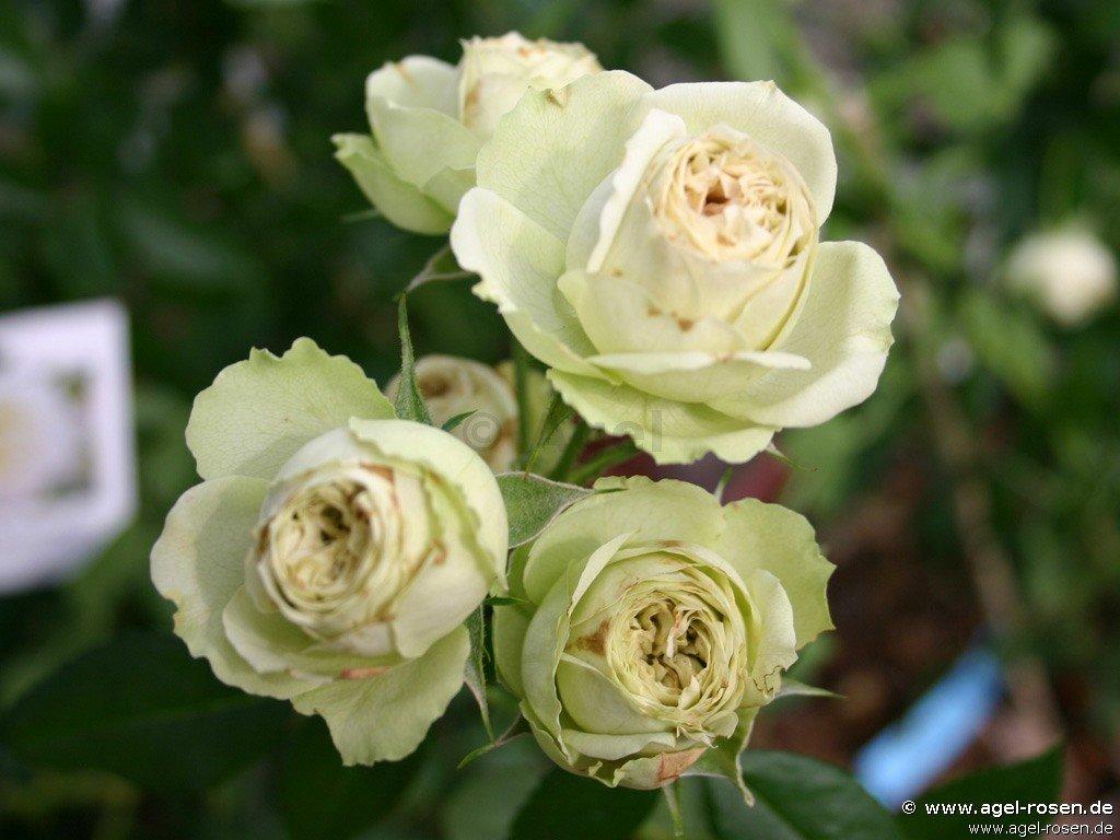 Buy Lovely Green At AGEL ROSEN » 5-liter Pot » Container Roses