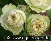 Lovely Green (Floribunda Rose)