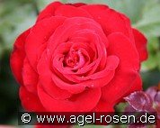 Lübecker Rotspon (Floribunda Rose)