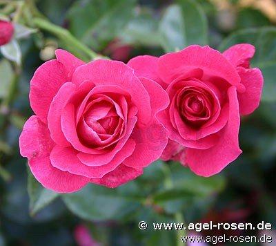 manou meilland floribunda rose buy at agel rosen. Black Bedroom Furniture Sets. Home Design Ideas
