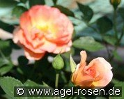 Margrit Sofie (Floribunda Rose)