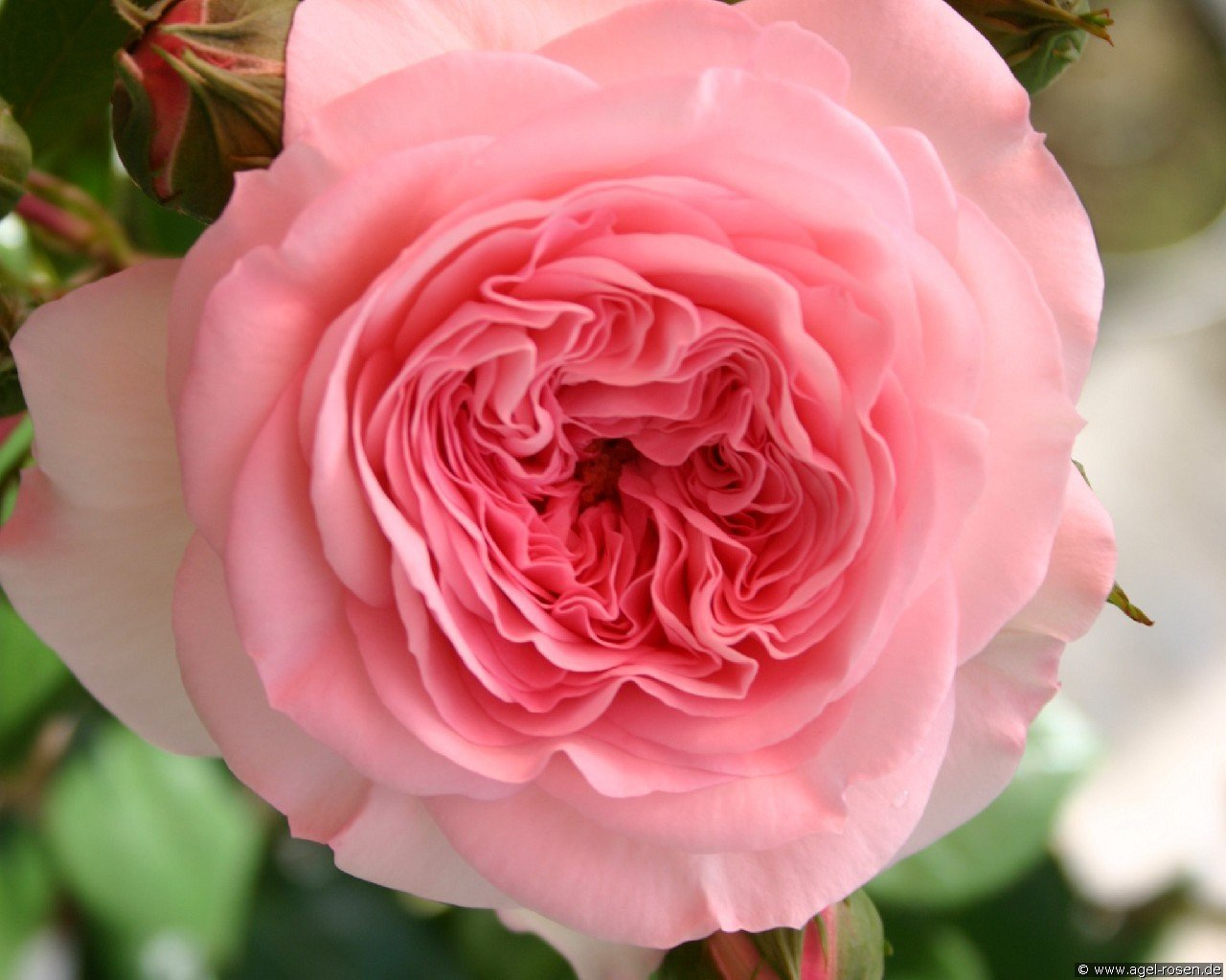 mariatheresia floribunda rose buy at agel rosen. Black Bedroom Furniture Sets. Home Design Ideas