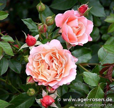 buy rose marie curie online at agel rosen 1 5 liter organic pot container roses. Black Bedroom Furniture Sets. Home Design Ideas