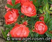 Muttertag Orange (Floribunda Rose)